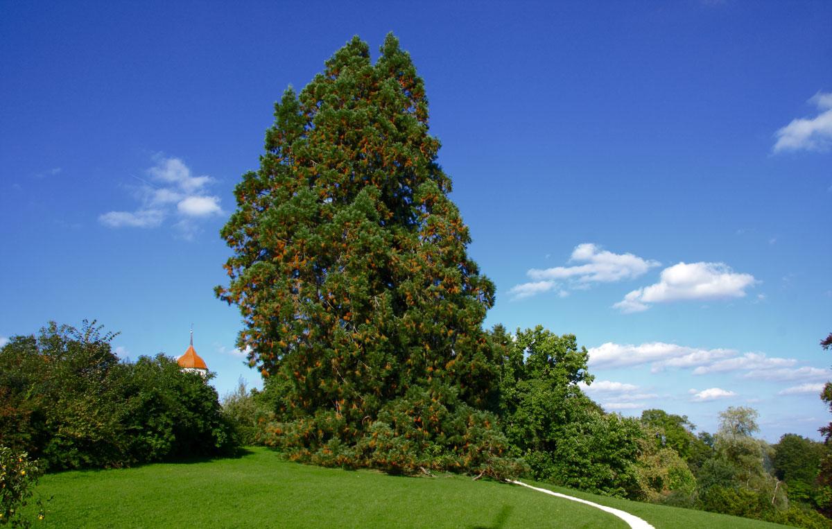 mammutbaum08